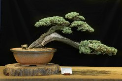 buddleja saligna bonsai 2